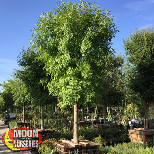 Specimen Trees Arizona Ash Specimen