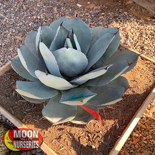 Cacti Agave and More Artichoke Agave