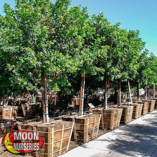 Trees of Winter Brazilian Pepper