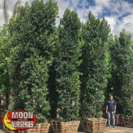 Ficus Ficus Nitida Evergreen Trees Moon Valley Nursery