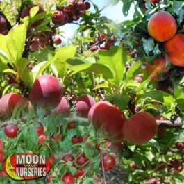 Fruit Salad Tree Citrus And Fruit Moon Valley Nursery