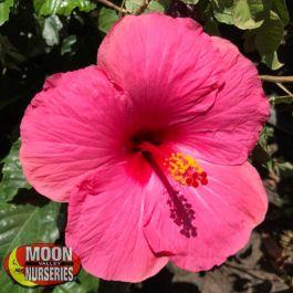 Pink Hibiscus Shrubs Moon Valley Nurseries