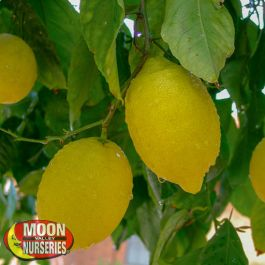 Lisbon Lemon Tree Citrus And Fruit Moon Valley Nursery