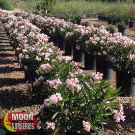 Dwarf Oleander Pink Shrubs Moon Valley Nurseries
