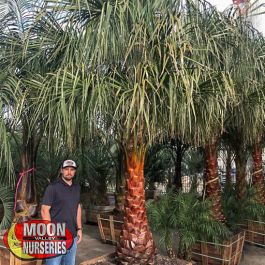 Ribbon Palm Palm Tree Moon Valley Nurseries