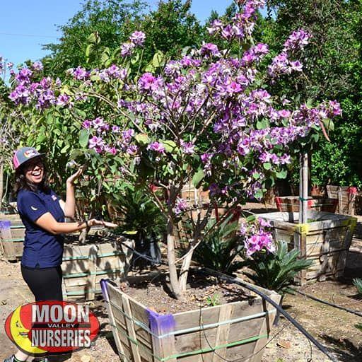 Purple Orchid Flowering Trees Moon Valley Nurseries