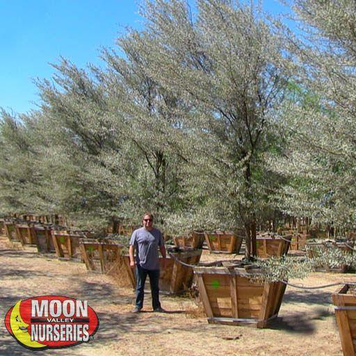 Desert Trees Mulga Acacia