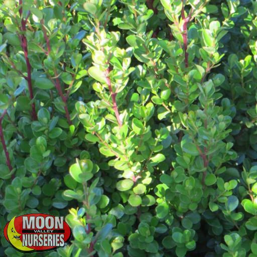 Hedge African Boxwood