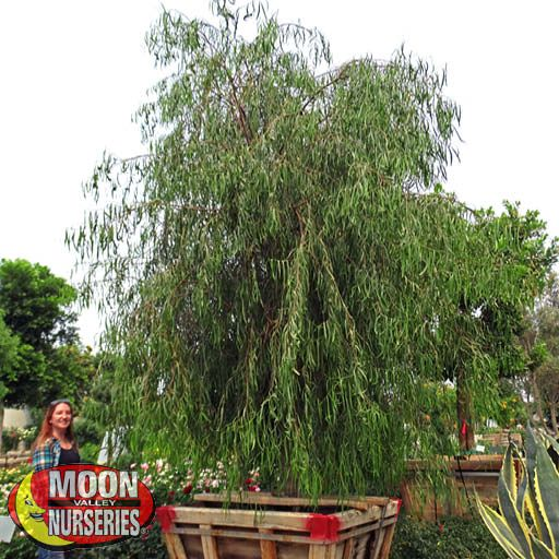 Evergreen Trees Australian Willow
