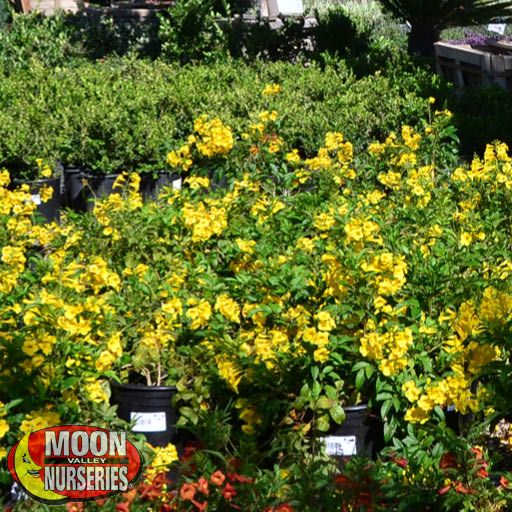 Yellow Bells Shrubs Moon Valley Nurseries