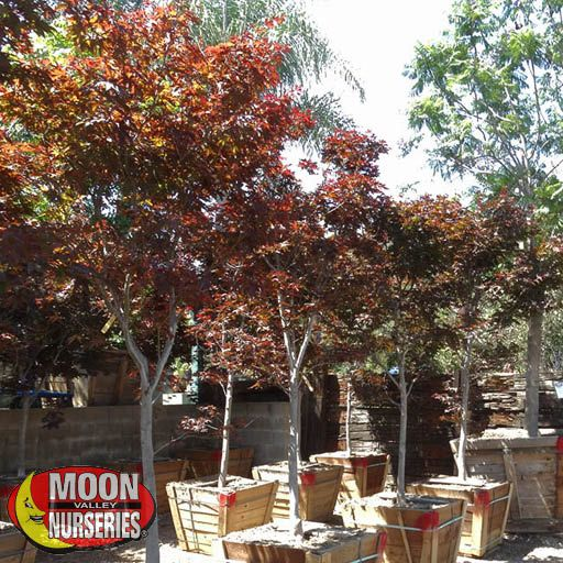 Bloodgood Japanese Maple Fast Growers Moon Valley Nurseries