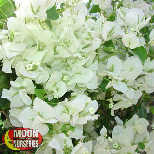 Shrubs Bougainvillea White