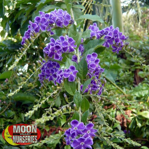 Shrubs Brazilian Skyflower