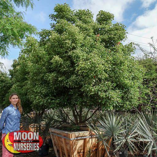 Specimen Trees Camphor