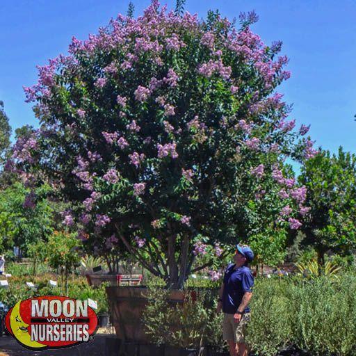 Flowering Trees Trees