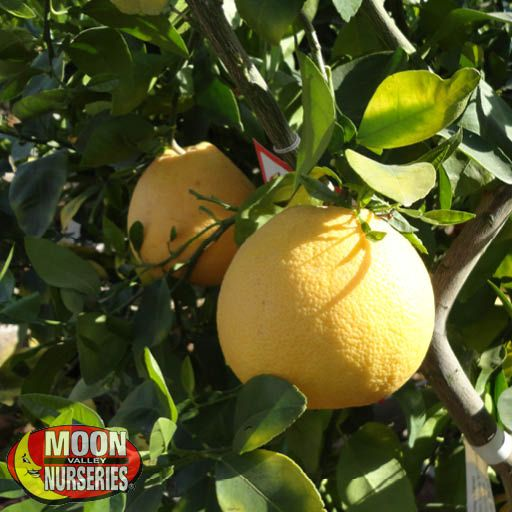 Citrus & Fruit Trees Chandler Red Pummelo