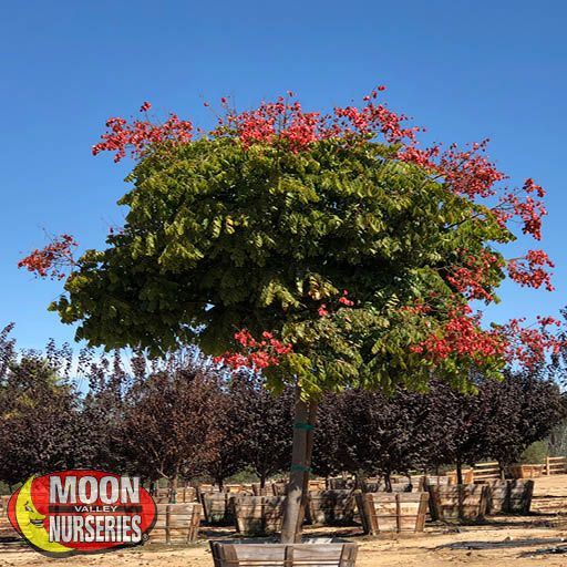 Fast Growers Chinese Flame Tree