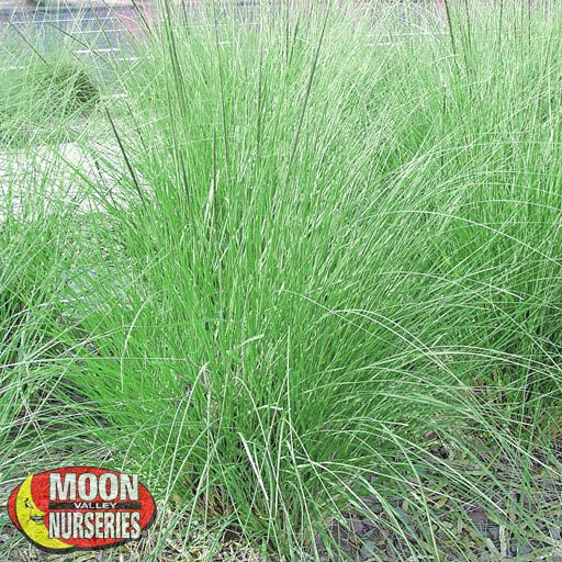 Deer Grass Shrub Moon Valley Nurseries