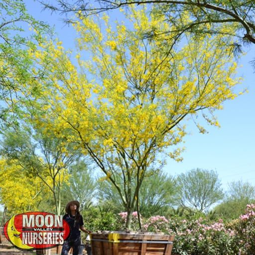 Flowering Trees of Spring Museum Palo Verde
