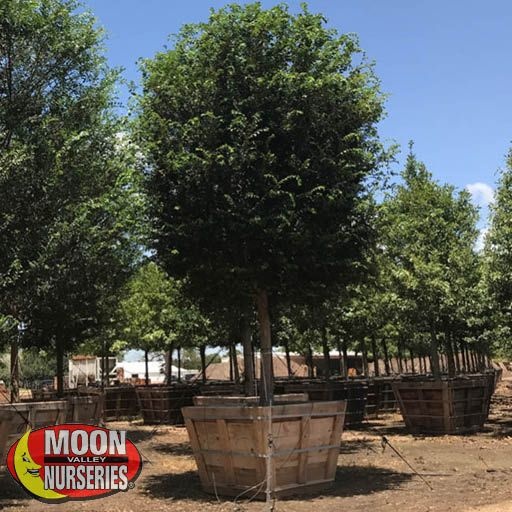 Fast Growers Drake's Chinese Elm