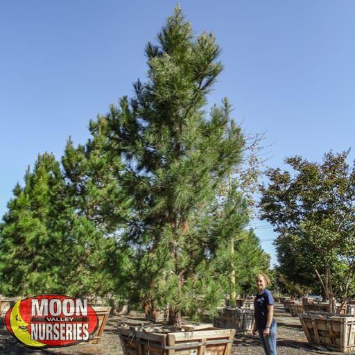 Fast Growers Eldarica Pine