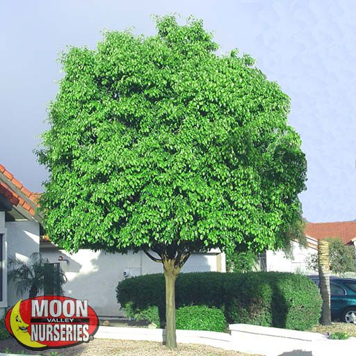 Evergreen Trees Weeping Fig