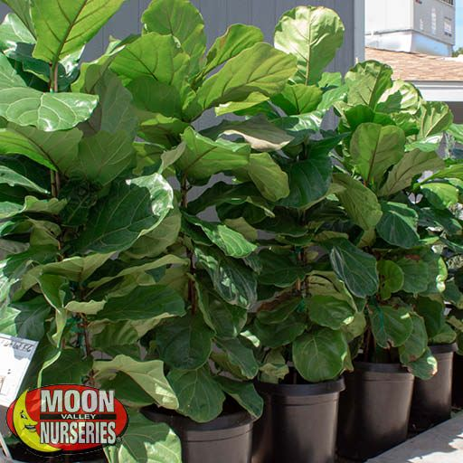 Shrubs Fiddle Leaf Fig