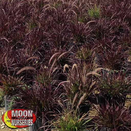 Purple Fountain Grass Shrubs Moon Valley Nurseries