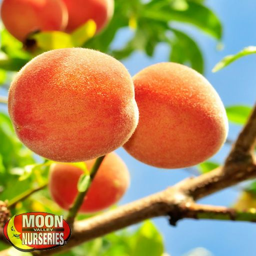 Citrus & Fruit Trees Gold Variety Peach