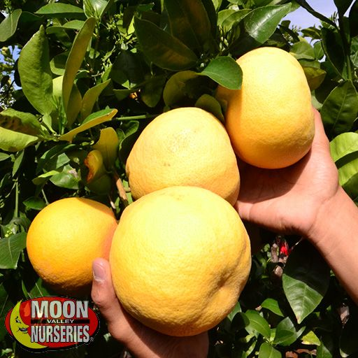 Citrus & Fruit Trees White Grapefruit