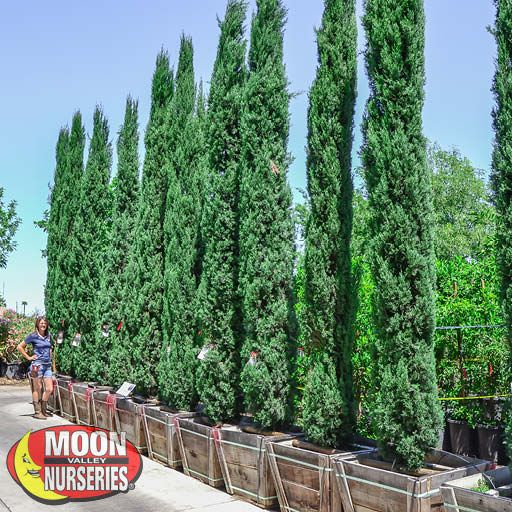 Hedge Material Italian Cypress