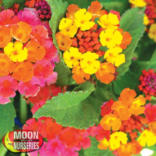 Shrubs Lantana Irene
