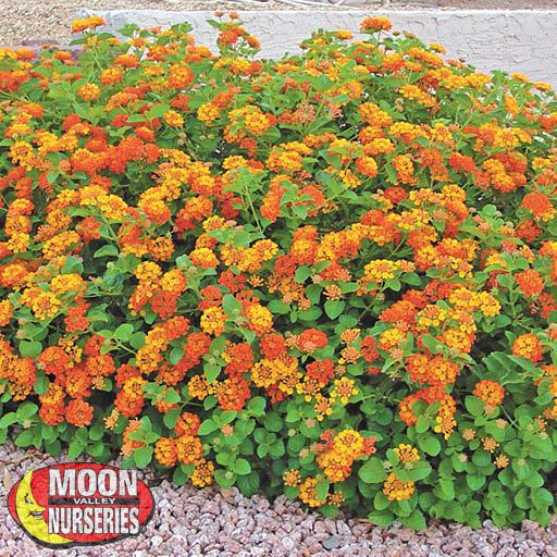 Shrubs Lantana Radiation