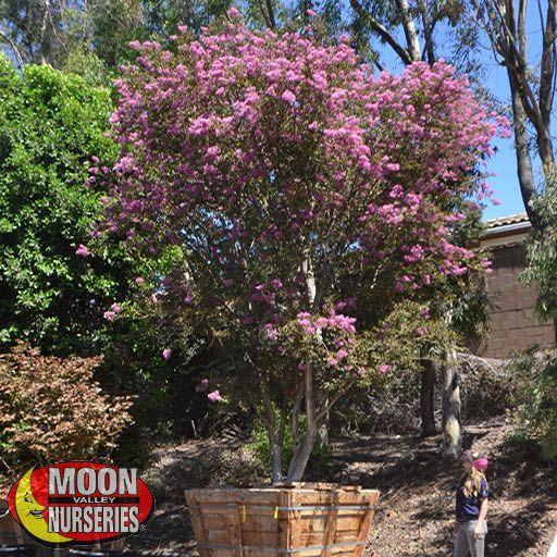 Flowering Trees Lipan Crape Myrtle