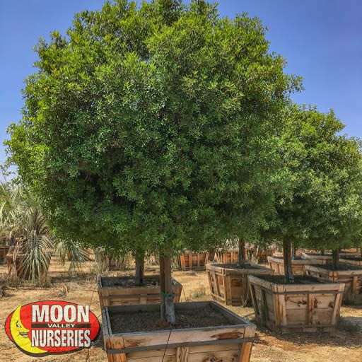 Hedge Material Mastic Tree
