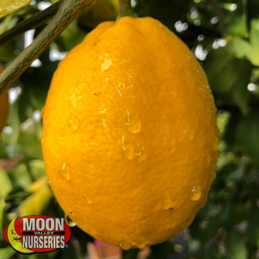 Citrus & Fruit Trees Meyer Lemon