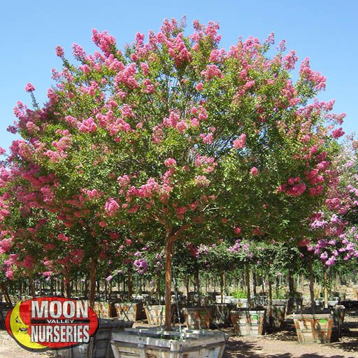 Flowering Trees Miami Crape Myrtle