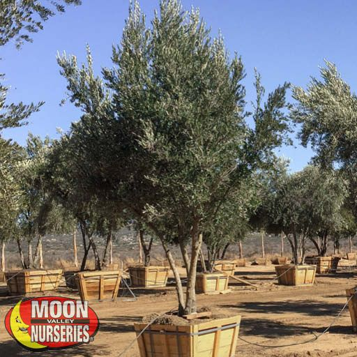 Evergreen Trees Mission Olive