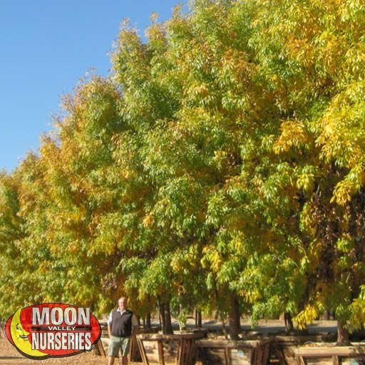 Fall Color Trees Modesto Ash