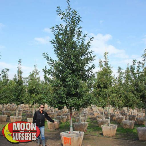 Trees of Winter Mexican Oak