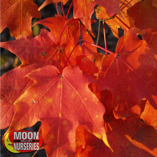 Oak & Magnolia Trees October Glory Red Maple