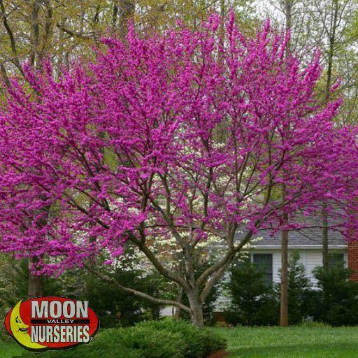 Oklahoma Redbud Flowering Trees Moon Valley Nurseries
