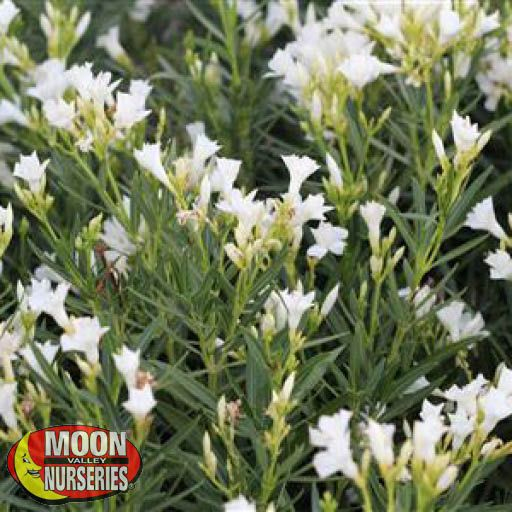 Hedge Dwarf Oleander White