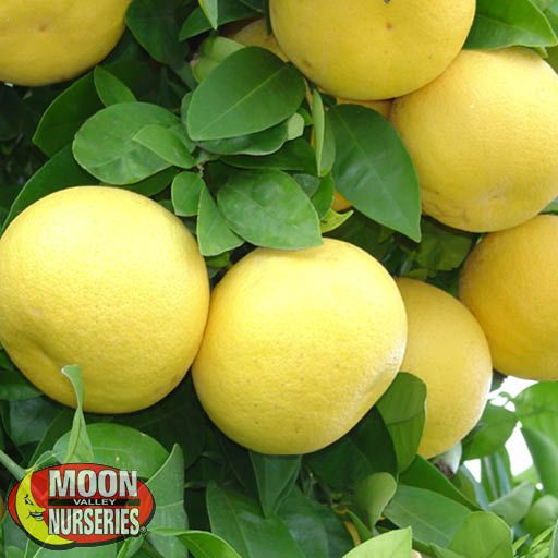 Citrus & Fruit Trees Oro Blanco Grapefruit