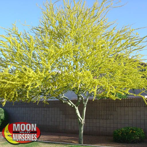 Desert Trees Palo Brea