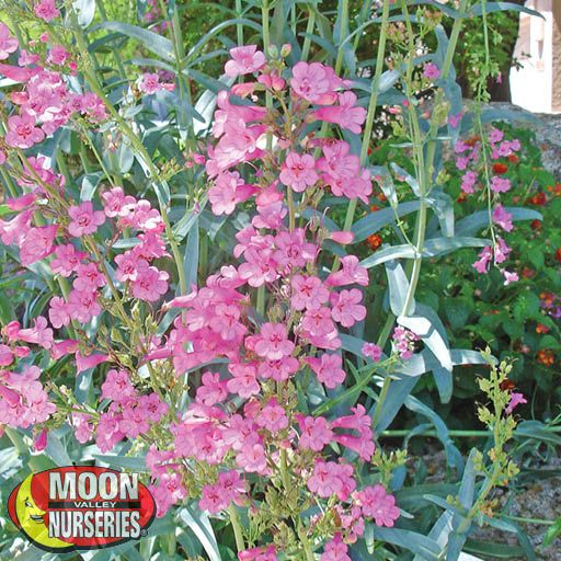Shrubs Penstemon