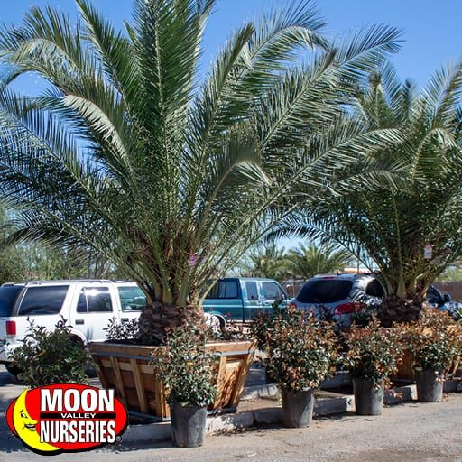 Palm Trees Pineapple Palm (Canary Island Date Palm)