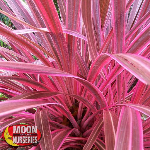 Shrubs Cordyline Electric Pink™ PP19213