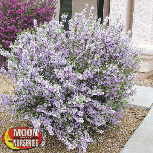 Shrubs Chihuahuan Sage