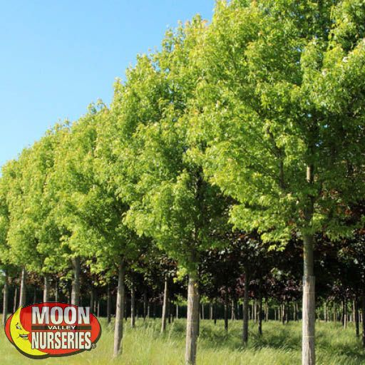 Fast Growers Silver Maple